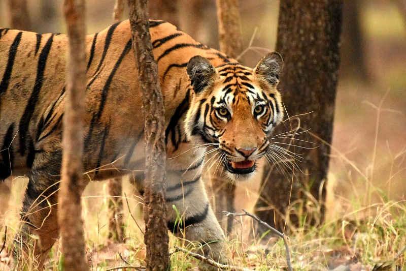 Pench Jungle Safaris