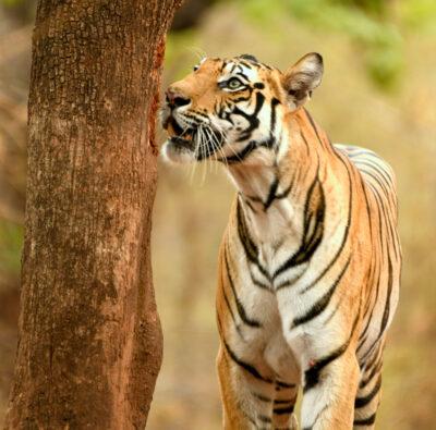 Bandhavgarh Jungle Safari
