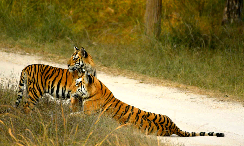 Collarwali Tigress - Queen of Pench