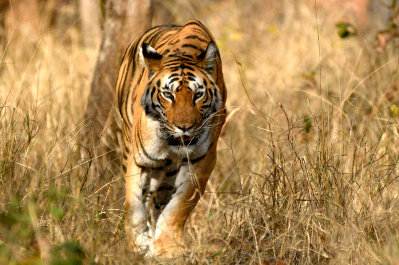 Famous Tigers of Pench National Park