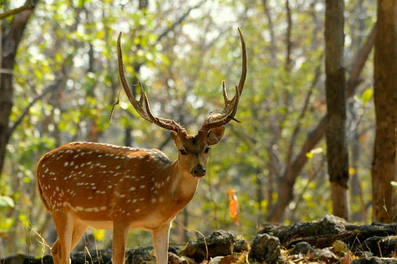 Spotted Deer - Pench Jungle Safaris