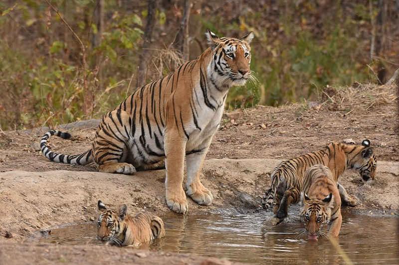 Tigre Cubs - Pench Khursapar