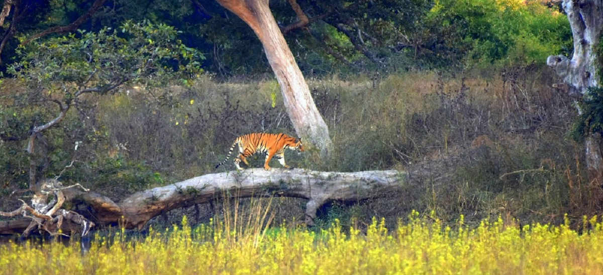Tiger Habitat from Forest of Central India
