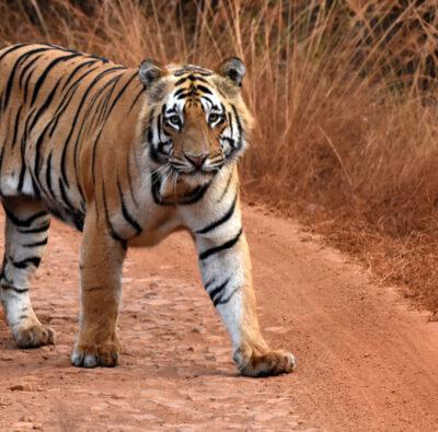 Kanha Jungle Safari Packages
