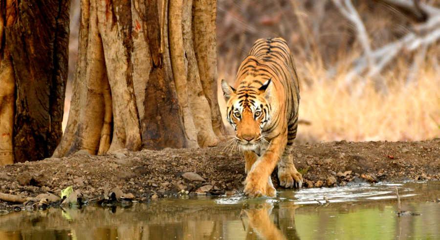 Tiger at Pench Jungle Safari