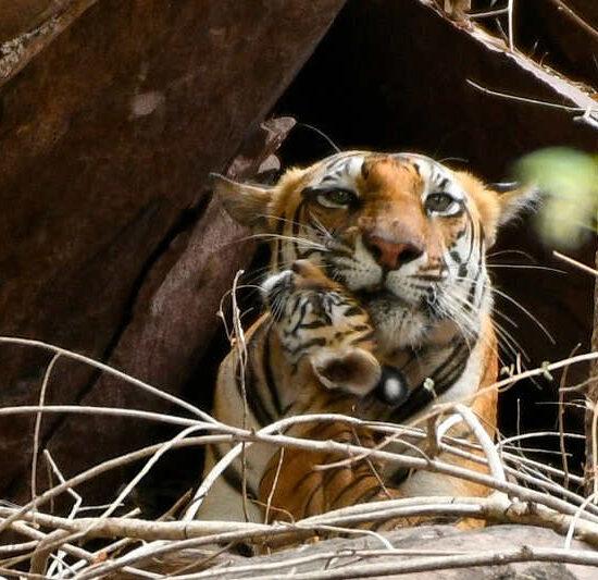 Tiger at Kanha Jungle Safari