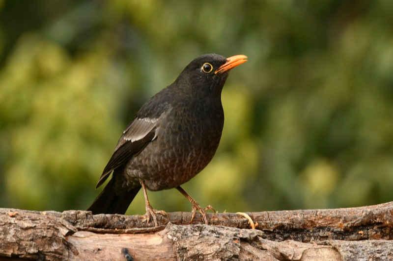 Black Bird - Sattal Birding