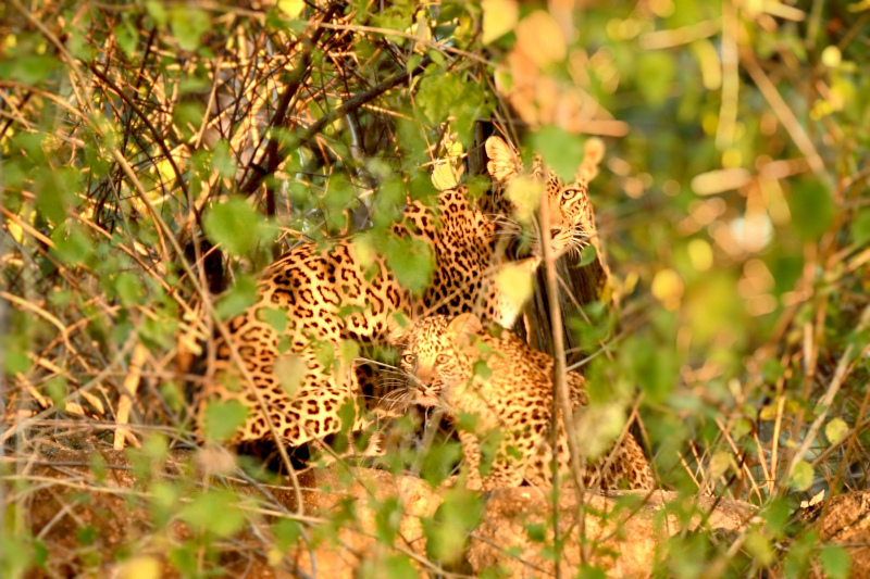 Leopard at Pench National Park