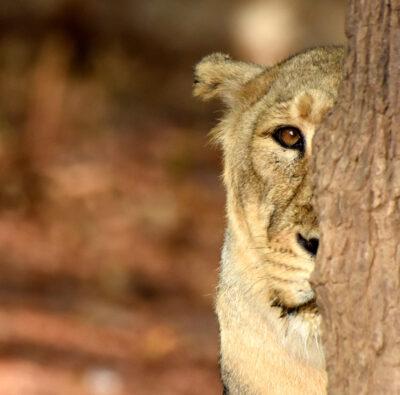Gir National Park | Gir Jungle Trail Safari