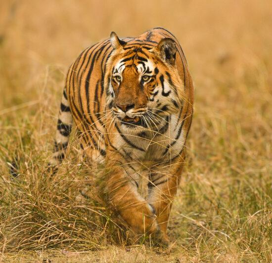Tiger L Mark at Pench Jungle Safari
