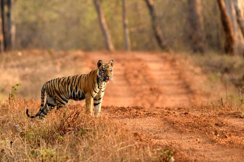 Tiger Cub at Tadoba National Park
