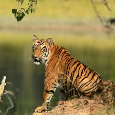 Pench National Park | Pench Jungle Safari Booking