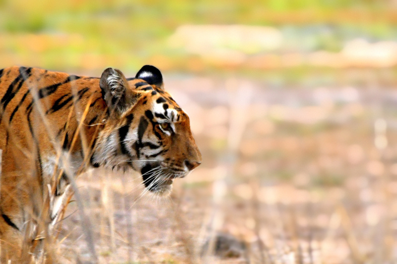 Famous Tigers of Tadoba National Park