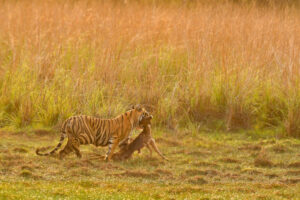 Tiger with a Kill