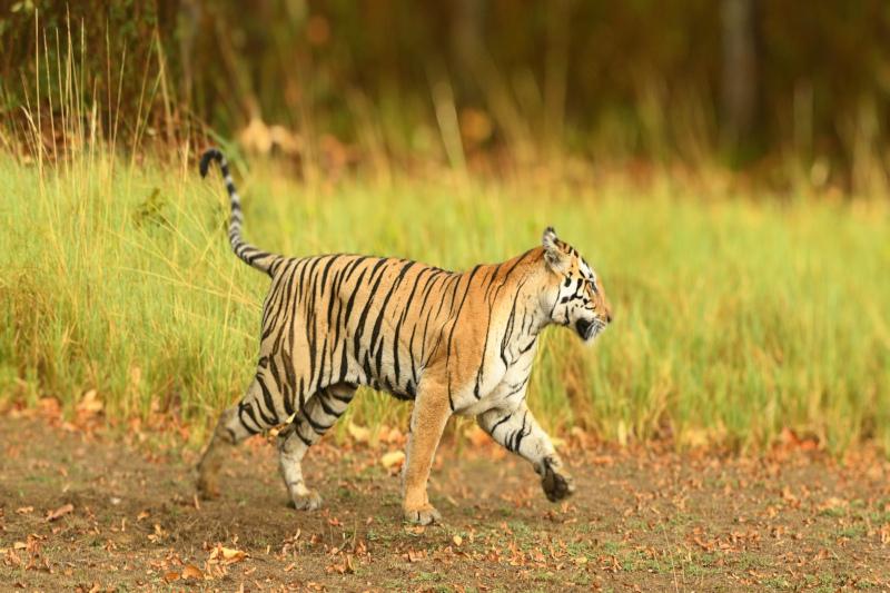 Tigress Naina at Kanha Tiger Reserve