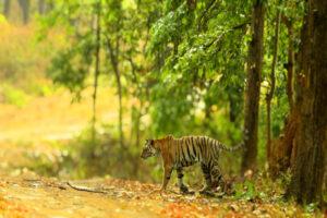 Tigress Naina Marking Territory