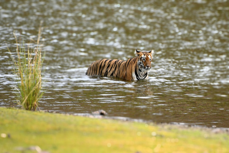 Famous Tigers of Tadoba