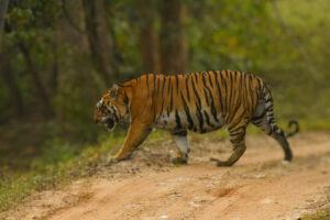 Male Tiger at Kanha National Park 1