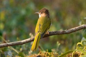 Birding at Sattal