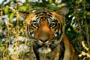 Tiger at Tadoba