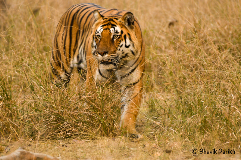 Male Tiger - L Mark at Pench
