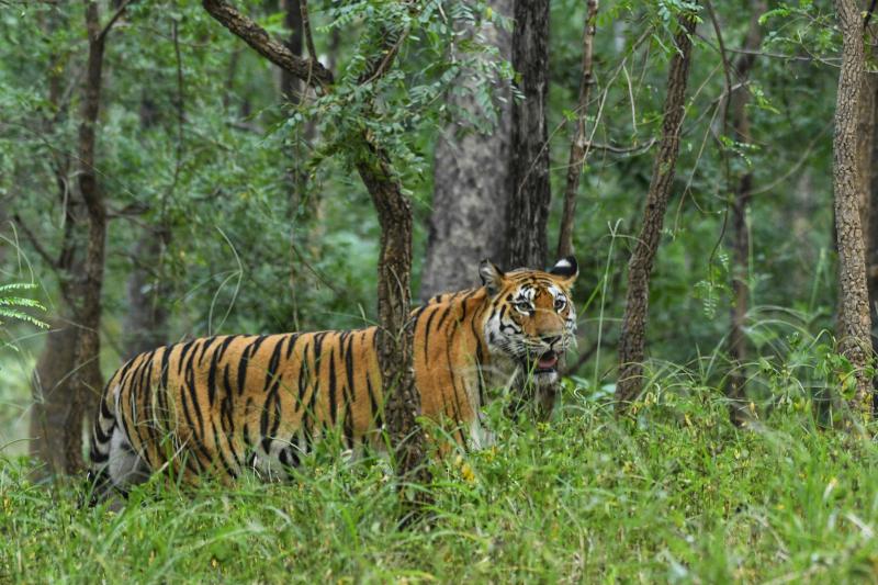 Tigress - Langdi at Pench
